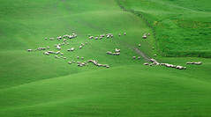 Lawn Mowers (Philipp Klinger Photography) Tags: italien green nature field grass animal animals fence landscape nikon italia sheep si hill lawn sienna vivid tuscany crete siena mower toscana philipp mowers toskana italiy klinger nikon70300mmvr d700 dcdead vanagram sienesi cretesienesi