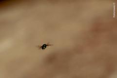Mosca-varejeira (rafaelhabermann) Tags: berne moscas insetos calliphoridae tamanho varejeira larval dpteros sarcophagidae parasita oestridae moscadacarne moscavarejeira ovopositor beronha miase dermatobiahominis ectoparasitas moscadebicheira moscavareja moscasdoberne rafaelhabermann2011 varejabiru moscasberneiras moscasgrande afecoparasitria miasenodularcutnea cochliomyiahominivoraxbicheira