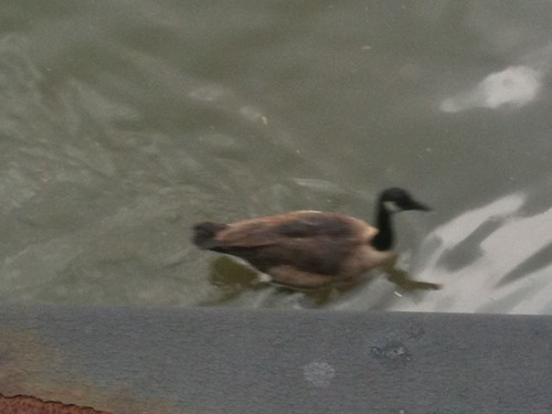Goose off Hoboken Station