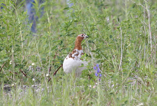 Willow Ptarmigan by ricmcarthur