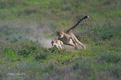 Cheetah Chase (MyKeyC) Tags: africa tanzania cheetah todd hunt cheetahhunt cheetahprey cheetahrunningafterprey