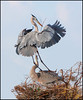 Great Blue Intimacy (billkominsky ) Tags: bird nature birds wildllife naturesfinest greatblueherons bej specanimal vosplusbellesphotos wakohadcheewetlands thetruthgallery