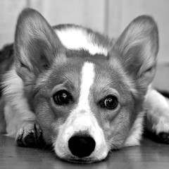 Mopey Penny - Rev. B (Chase Hoffman) Tags: blackandwhite bw dog chien co monochrome blackwhite corgi nikon canine perro cao hund penny gae cobaka inu kau gau canis sobaka thelittledoglaughed chasehoffman ku gu chasehoffmanphotography
