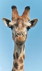 300px-Giraffe-closeup-head