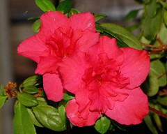 Colour on a rainy winter day (diffuse) Tags: pink winter red plant flower bc britishcolumbia azalea shrub 2009 blooming princegeorge january2009 2009yip diffuse2009