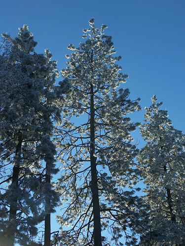 Frosted trees on blue sky
