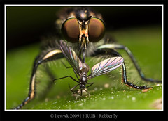 1.13 Robberfly ... portrait ... (liewwk - www.liewwkphoto.com) Tags: park wild hairy plant macro green eye nature animal closeup fauna canon bug garden insect grey fly leaf flora natural outdoor maroon wildlife leg wing foliage robberfly wilderness antenna bristle diptera mpe65 50d digitalcameraclub canon50d ulubendul mpe65macro