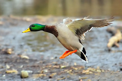 Mallard Landing (ozoni11) Tags: bird nature birds animal animals duck interestingness nikon ducks explore wetlands mallard waterfowl 172 wetland mallards columbiamaryland d300 wildelake interestingness172 i500 michaeloberman explore172 ozoni11