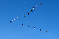 Geese flying V shape copy over Minnehaha Falls Park (Dan Anderson.) Tags: sky moon flying geese candada vformation