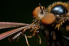 IMG_4515 copy (Kurt (Hock Ping Guek) orionmystery.blogspot.com) Tags: wild macro nature closeup fauna forest bug lunch flora eating wildlife extreme cleaning jungle robberfly prey predator frim 3x mpe65 40d spectacularinsects citrit macromarvels prosbocis