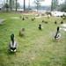 Quack Quack Quack by Brian Auer