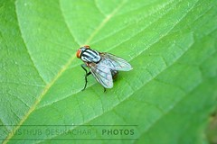 Going Green (Kausthub) Tags: 2003 india macro green insect fly leaf handheld chennai otw fujif402