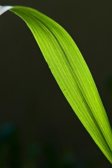 ribbon (debunix) Tags: macro green grass