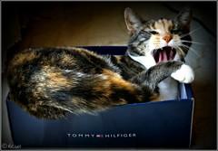 bored.... (MiChaH) Tags: blue pet cat kat blauw box yawn bored luna huisdier poes shoebox yawning tommyhilfiger doos lapjeskat verveeld geeuw geeuwen schoenendoos