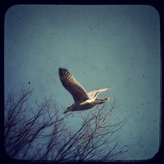 Amsterdam Gull (Con Ryan) Tags: bird wings flight bluesky photoshoppery fakevintage fakettv thegullaintfakethough