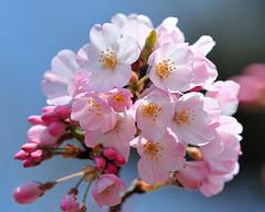 "Cherry blossoms...""Jindai Akebono"" (Giovanni88Ant) Tags: pink cherry spring jindaiakebono sensationalphoto"