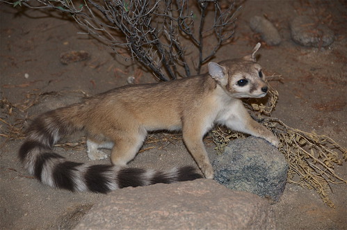 Ring Tailed Cat  (Bassariscus astutus)