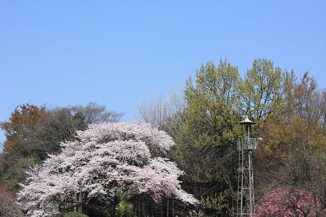 牛沼の火の見櫓(所沢市):桜