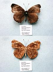 NW31-3 Anthanassa otanes (nymsysgro) Tags: costarica nymphalidae nymphalinae anthanassa otanes melitaeini phyciodina