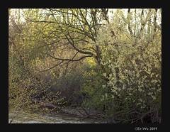 Fischa-Dagnitz, fruehling1 2009-04 (Brigitte Rieser) Tags: tree water river spring wasser bach fluss baum niedersterreich frhling salix caprea salweide fischadagnitz