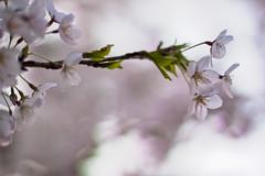 untitled (.: Olivier :.) Tags: flowers flower fleur 50mm spring dof f14 桜 花 cerisier ÷ 50mmf114g