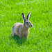 Brown Hare - Photo (c) Ferdi, some rights reserved (CC BY-NC)