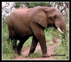 No caminho (Roseli Ronchesi) Tags: elephant nature mammal natureza safari krugerpark elefante savanna mamfero manada frica savana paquiderme