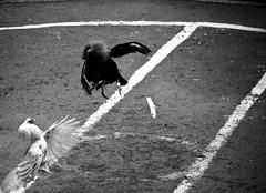COCKFIGHT (87) (Peter_O'Driscoll) Tags: gambling game spur fight fighter attack culture cockpit clash peter coliseum rooster tradition breed combat gamble betting bet cultural gladiator manok gamecock gambler gallera sabong wager bloodsport cockfighting odriscoll stamina warrier panay gamefowl hahnenkampf cityoflove iloilocity combatdecoqs rinhadegalo bulang  colseum sagupaan g combattimentodigalli bulangan pasampok   riadegallos   sabonero manoktukaan peterodriscoll