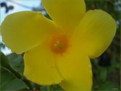 flor amarilla (lilu77) Tags: flower macro yellow flor amarillo nicaragua chinandega centroamerica somotillo
