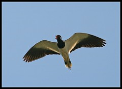 Red-wattled Lapwing (Vanellus indicus) flying in Sultanpur Bird Sanctuary, India (Saran Vaid) Tags: wild india bird nature beautiful beauty birds fauna canon flying inflight wings asia searchthebest wildlife birding flight wing beak feathers feather sigma aves best safari lapwing elegant airborne soe animalplanet sanctuary quill spotting bornfree birdsanctuary sighting haryana indicus quills redwattledlapwing vanellusindicus sultanpur vanellus wingsspan redwattled flickrsbest bej mywinners canoneos400d sultanpurbirdsanctuary platinumphoto avianexcellence sultanpurnationalpark rubyphotographer abovealltherest sigma150500mm vosplusbellesphotos sigma150500mmf563dgoshsm flickraward