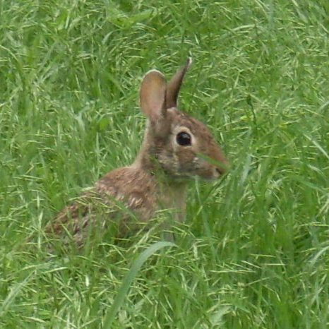Cottontail rabbit in new grass