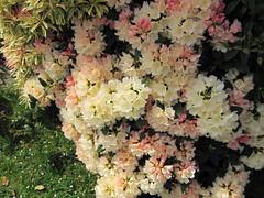 Rhododendron 'Golden Torch' (wallygrom) Tags: westsussex rhododendron eastpreston goldentorch