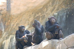 Chimps having their snack and people watching
