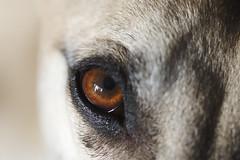Gazehound