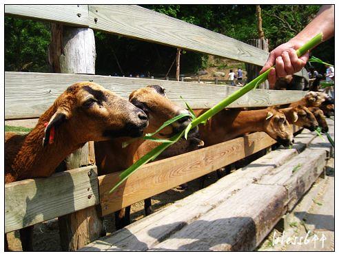 餵巴貝多黑肚綿羊