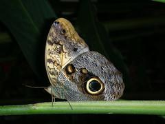 Mariposa  en equilibrio (Cristina Bruseghini de Di Maggio) Tags: mariposas platinumheartaward cristina honduras macrisbruse farfalla buterfly bruseghini nikon dimaggio