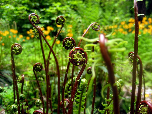 deer fern fiddleheads
