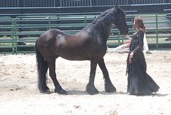 ND125 1521 (A J Stevens) Tags: horses horse black beautiful beauty renfaire equestrian pagan frisian equineguild