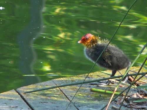 Coot Chick on Surrey Water
