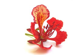 Gulmohar (Sajith Kurian) Tags: red india white flower colorful background royal delonixregia fabaceae karnataka onwhite flamboyant bg poinciana gulmohar ornamentaltree