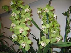 Standard Cymbidium Orchid