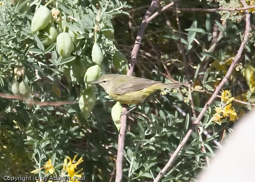 Orange-crowned Warbler by you.