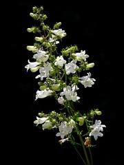 Penstemon digitalis #1 (J.G. in S.F.) Tags: flower scrophulariaceae inflorescence flowerbud penstemondigitalis foxglovebeardtongue berkeleycalifornia ubcbotanyphotooftheday foxglovepenstemon ucbotanicalgardenatberkeley