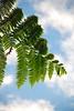 fern (jasonlouphotography) Tags: nature cameronhighlands sgpalas