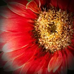 Flower red (manu4971) Tags: red france flower macro nature fleur yellow jaune canon rouge eos 350d petals flora europe maine jardin sigma topc100 105 loire topv100 flore angers vgtation gardin naturesfinest anjou petales flickrestrellas natureselegantshots colorsofthesoul platinumpeaceaward