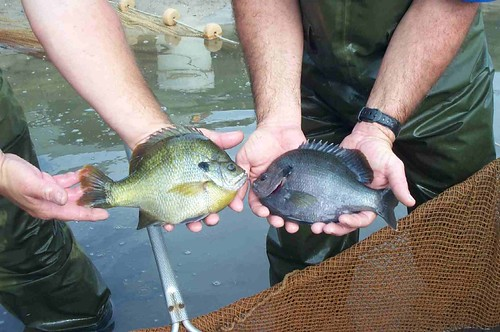 Female__Male_Bluegill