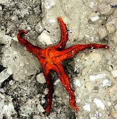Fallen Star (A2L) Tags: starfish youvsthebest thepinnaclehof