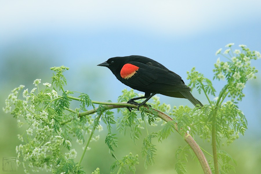 Red-winged Blackbird 04101-10