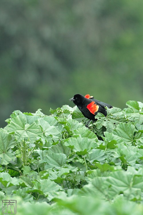 Red-winged Blackbird 04101-13