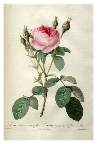 003-Les roses 1817-1824- Pierre-Joseph Redouté